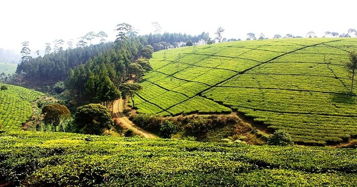 A Photo of pedro tea estate