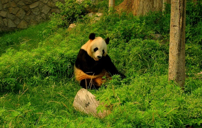 giant panda nibbling on the grass in the zoo