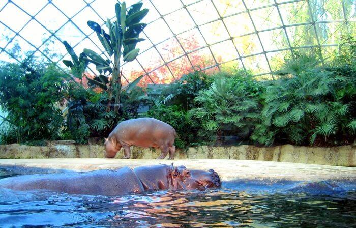 hippopotamus swimming in the lake in the zoo