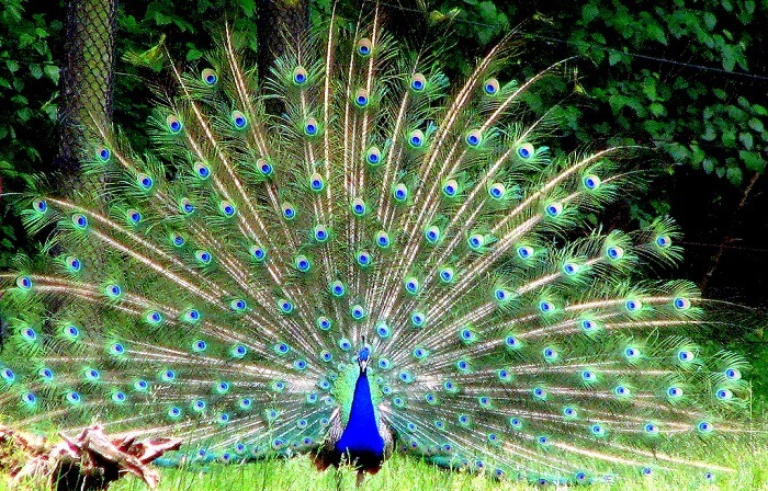 peacock dancing in the famous zoo