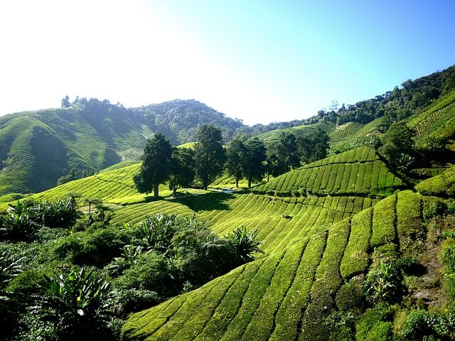 lush green tea plantation