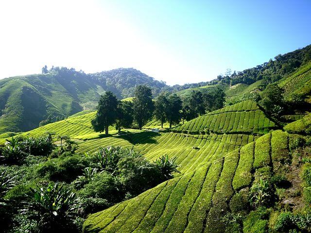 lush green tea plantation