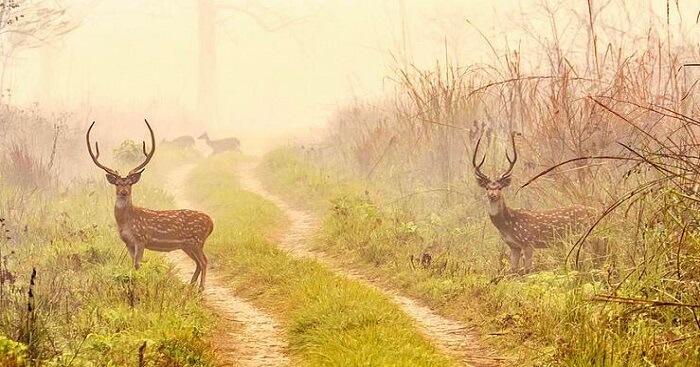 deer in chitwan national park