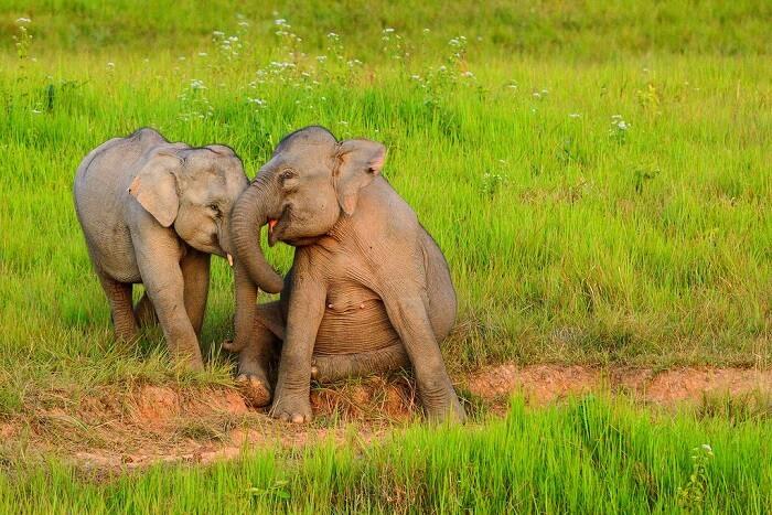 wild elephants having fun in Khao Yai National Park tours