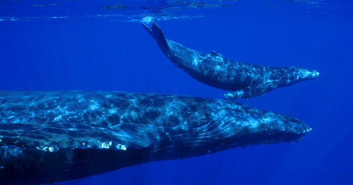 mother gray whale with the baby