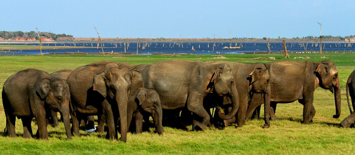 A herd of wild elephants at the Minneriya National Park in Sri Lanka