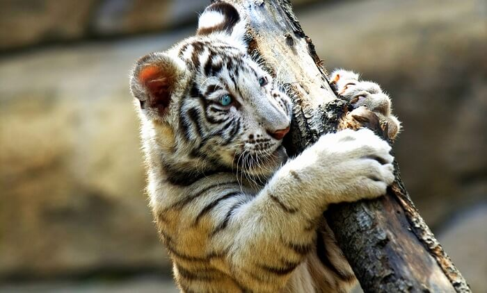 white tiger holding the tree branch