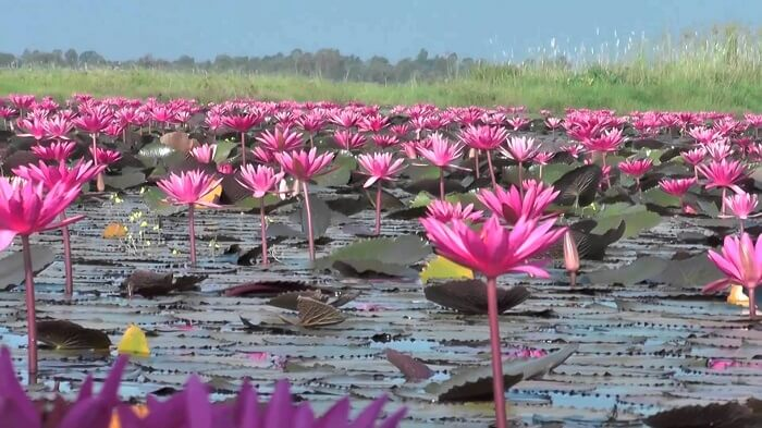 Sea Of Red Lotuses