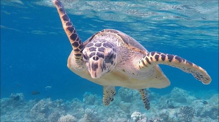 Snorkeling in Halaveli