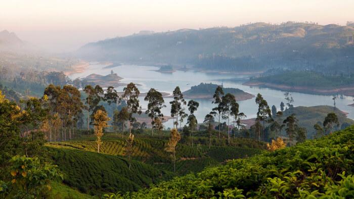 plantation for tea