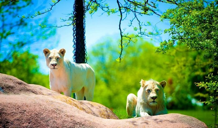 young lions looking towards the camera