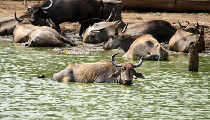 Flock of wild buffaloes in Udawalawe, Sri Lanka