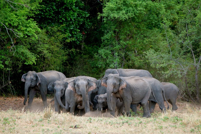 Elephant herd in Wasgamuwa National Park, Sri Lanka