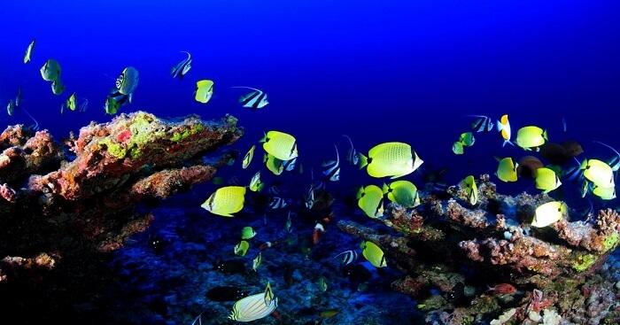 yellow colour tropical fish in sri lanka