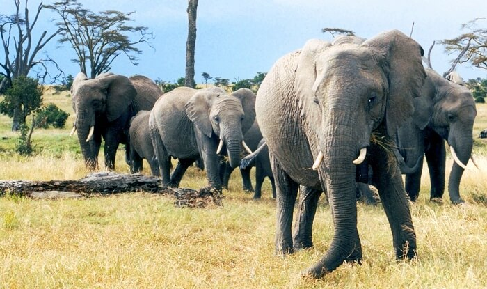herds of African elephants