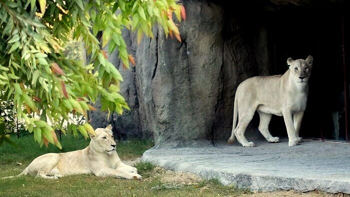 White Lion at African Village