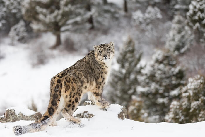 the snow leopard can be found