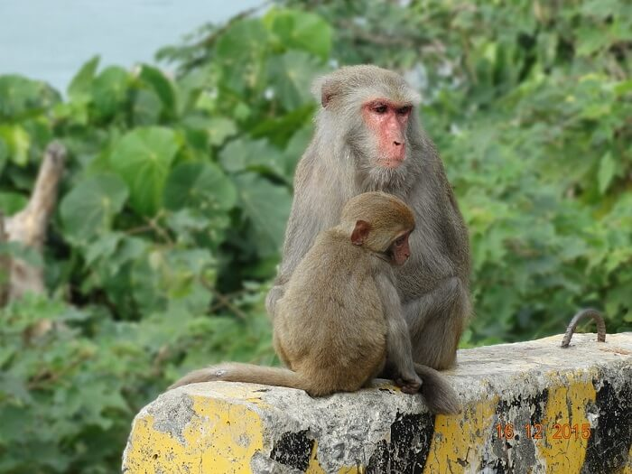 amazing macaques of Lower Peirce