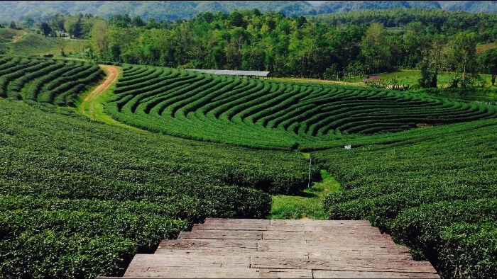 green tea farms