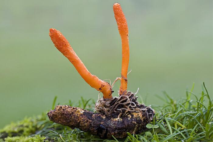 Cordyceps leaves have high medicinal value