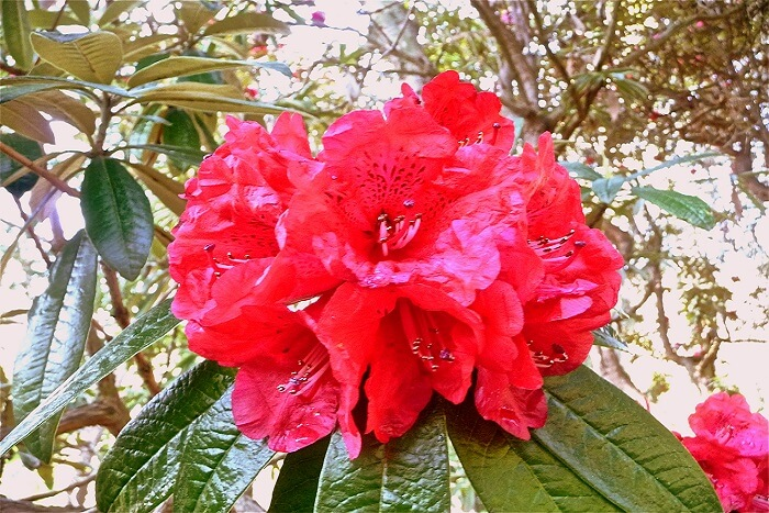 beautiful Rhododendron arboreum in red