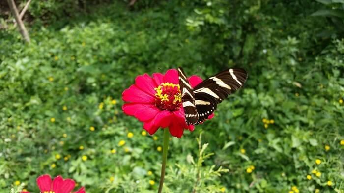 over a dozen butterfly species