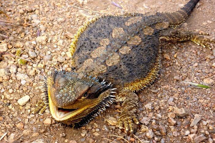Lizard Reptile Bearded Dragon