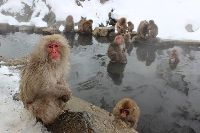 Be amused at the Jigokudani Wild Monkey Park