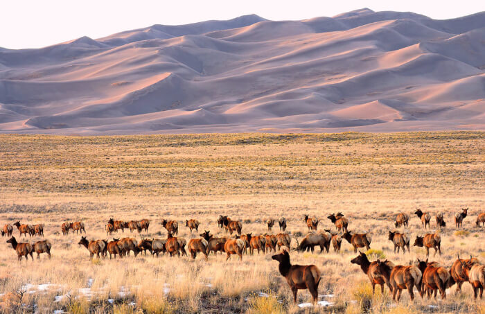 A herd of animals in A mountain deer at Great Sand Dunes National Park