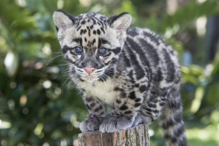 Clouded Leopard Research and Conservation Project