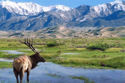 A mountain deer at Great Sand Dunes National Park