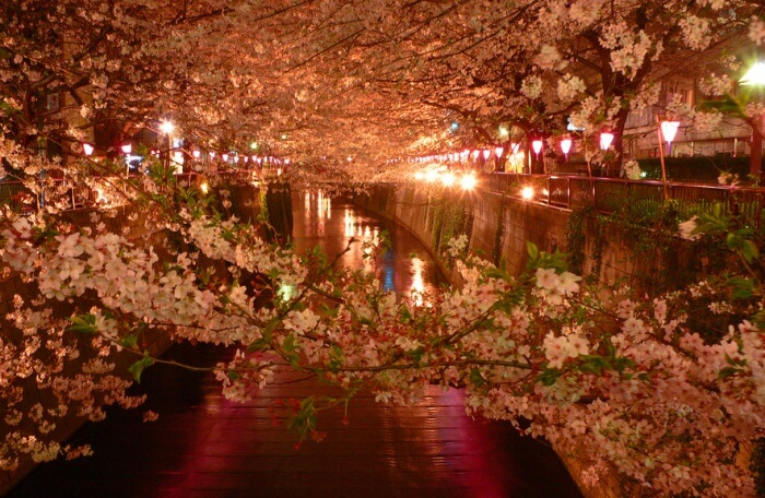 Get a great view of the Sakura at night