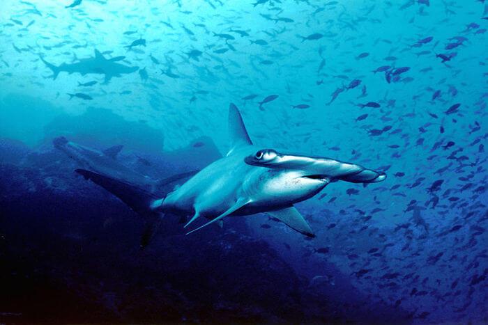 Hammerhead Sharks view