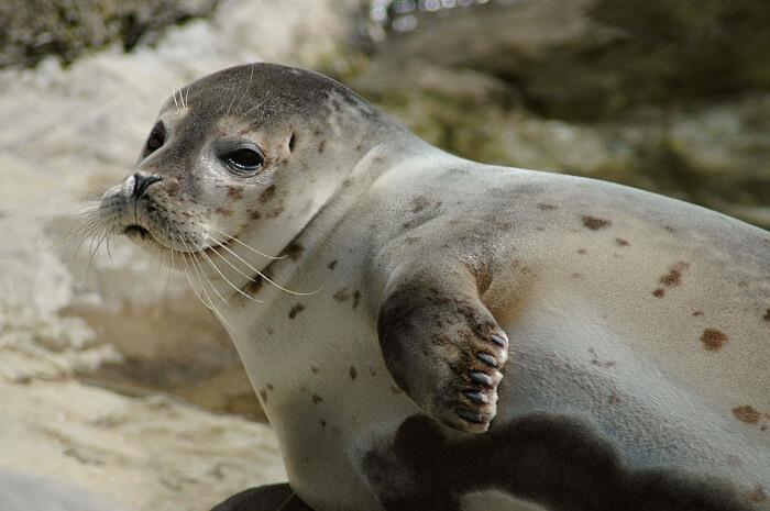 Home to the endangered Saimaa Ringed Seal