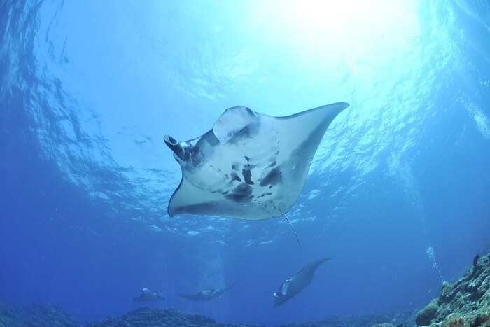 Manta Rays swimming