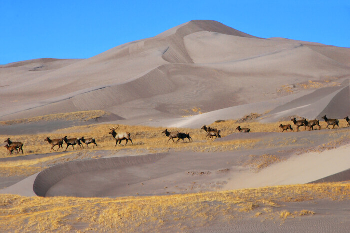 Animals walking in the herd at A mountain deer at Great Sand Dunes National Park
