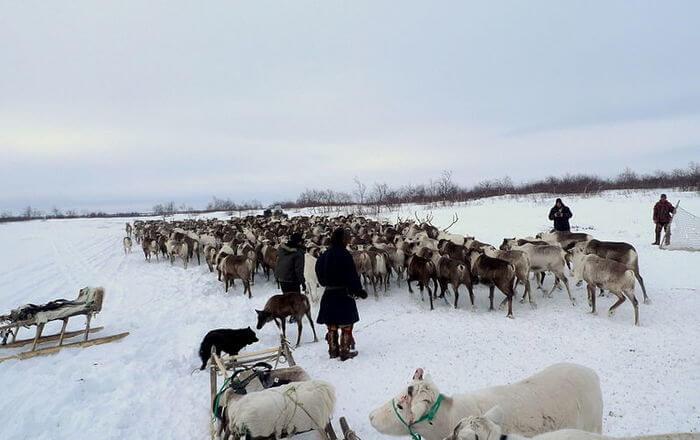 Reindeer at snow