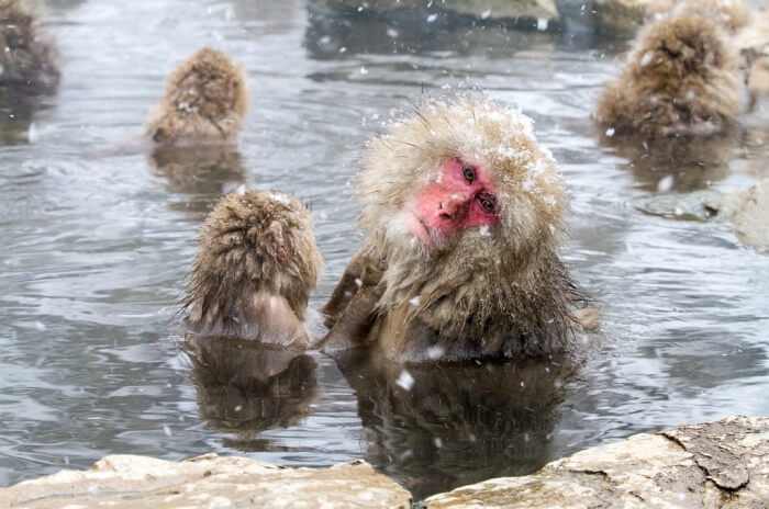 Watch the Japanese Macaques