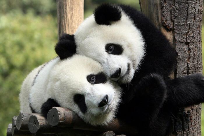 See some Pandas