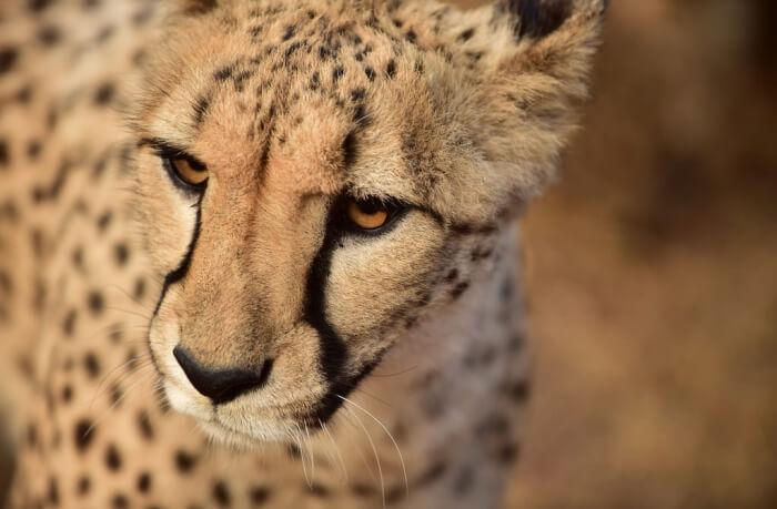 Adventure Lovers' Ultimate Cheetah Experience