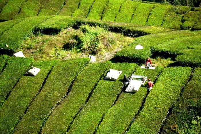 Bois Cheri Tea Factory