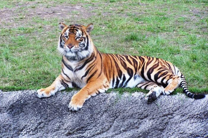 Dreamworld Tiger Cub Walk