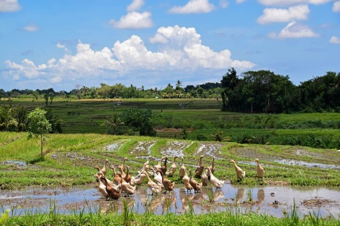 Indonesia Rice Fields Landscape Bali Travel