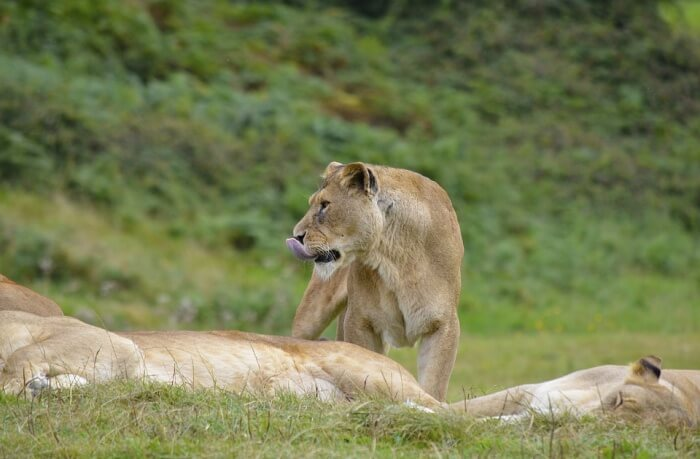 See-the-famous-African-Lion-Safari