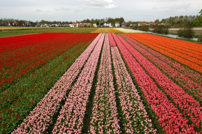 The Netherlands have a Short Tulip Season