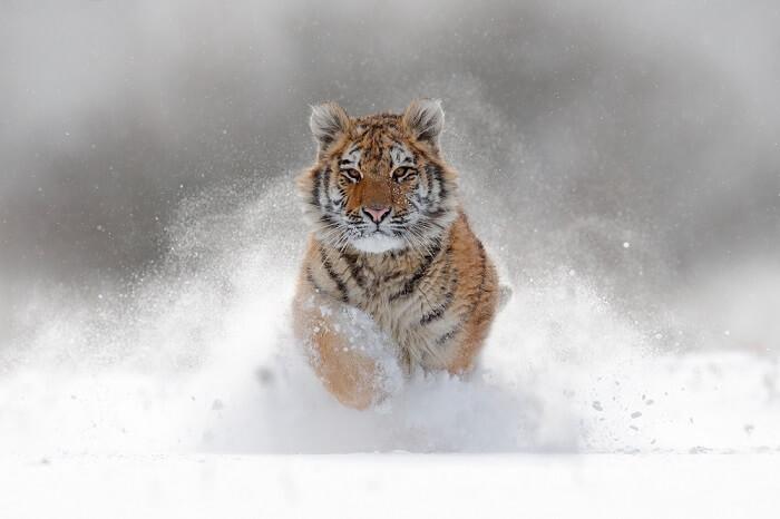 safari in russia