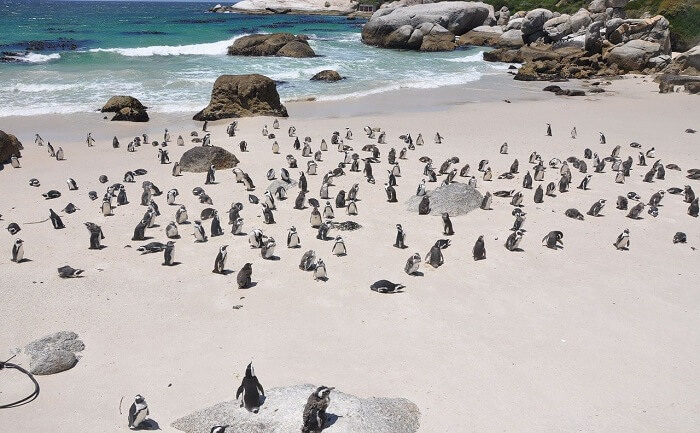 Wildlife Penguins Island Nature Penguins