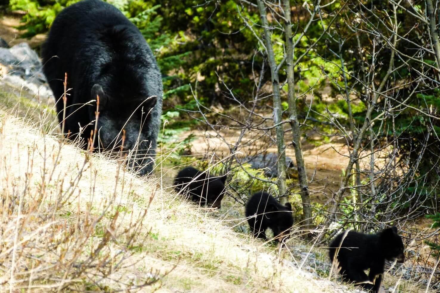 black bears in the wild