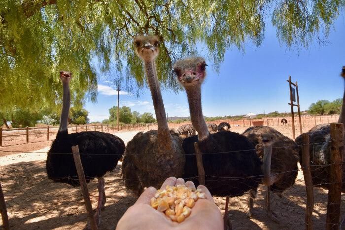 Ostrich in Ostrich farms