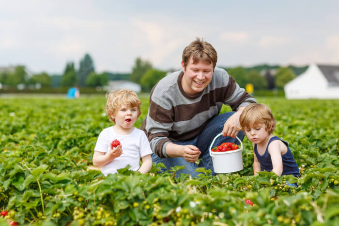 Father & kids plucking strawberry in the farms